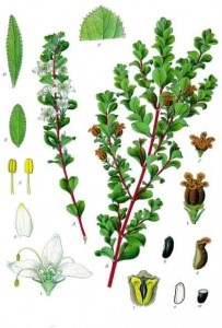Buchu herbal remedy for gout.