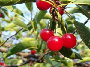 Cherries are a powerful natural gout remedy.