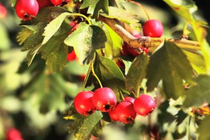 Hawthorn is an ancient gout home remedy.