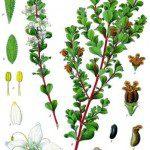 Buchu herbal remedy for gout.